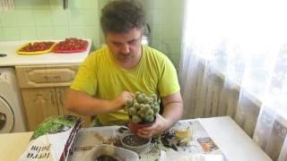 пересадка  кактуса