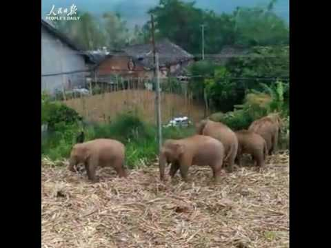 Chinese farmer found 13 wild Asian elephants feasting on sugar canes in his field