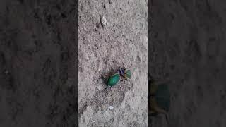Green Beetle Bug porno xxx