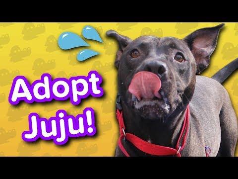 Adopt Juju // Pitty Mix // Adoptable Featurette