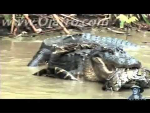 cá sấu quyết đấu với trăng khổng lồ.FLV