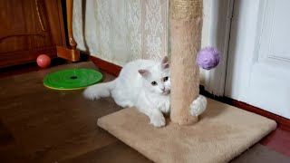 My Turkish Angora cat in very playful mood