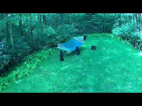 Mama Bear Brought Her Babies to Play on the Hammock    ViralHog
