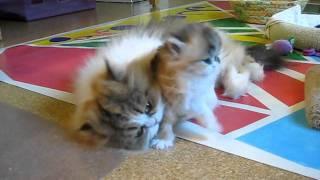 Cute Persian Kitten Power Wash (Jitterbug) - 10.12.11