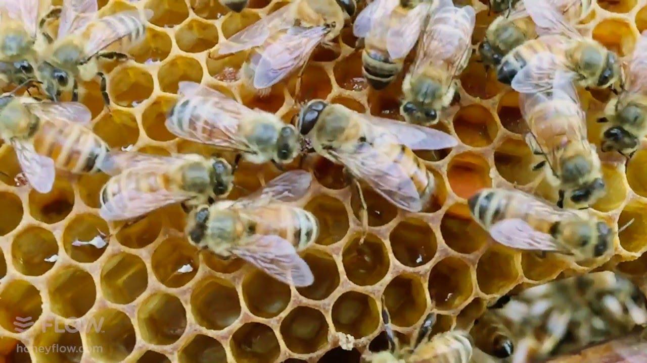 Download Beginner Beekeeping Ep 8 - Brood Inspection