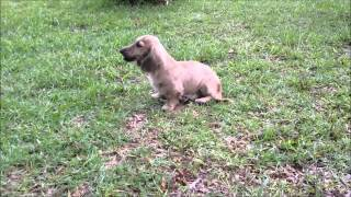 Royalworth's Jazzy Pepper | An English Cream Brindle Long Hair Miniature Dachshund Male Puppy