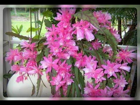 Эпифиллум  - секреты обильного цветения