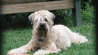О породе собак - Мягкошерстный пшеничный терьер