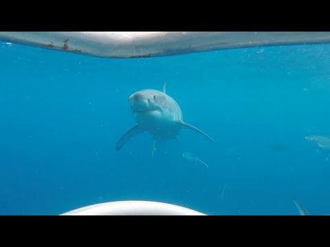 Shark cage diving 11th November 2017