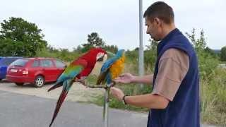 Cherry a Blue...free flight macaw blue and gold macaw with Green-w .... Bílá Voda_Chodov