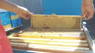 Формирование гнезда на рамку 145 мм. Ответы на комментарии к прошлому видео и прочее. Пчеловодство.