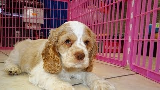 Cocker Spaniel, Puppies For Sale, In, San Antonio, Texas, Tx, Pasadena, Brownsville, Grand Prairie,