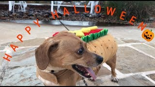 Took my hotdog-dog to trick or treat and this happened...