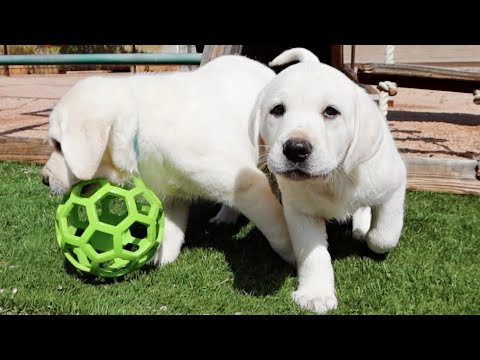 White Labrador Puppies Have A Blast Outside!!
