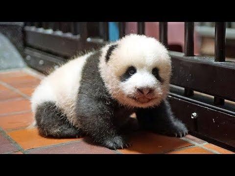 パンダの赤ちゃん(70日齢)身体測定