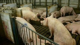 Mexico's tariff on pork is unsettling: Ken Maschhoff