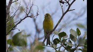 Download Mp3 Vidio Burung Kenari Di Alam Dengan Di Tangan Ini Bagus Mana Suaranya?