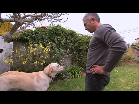 Why CESAR MILLAN Got Bitten By Food Aggressive Labrador Holly