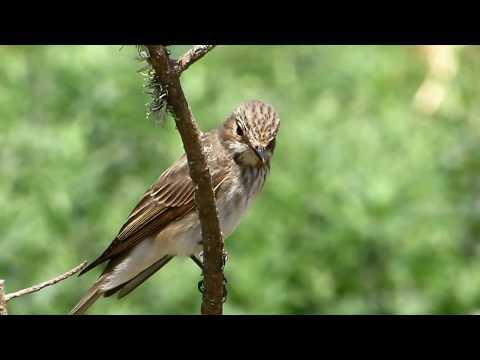 Spotted flycatcher (Muscicapa striata) Σταχτομυγοχάφτης - Μουγιοφάς - Cyprus