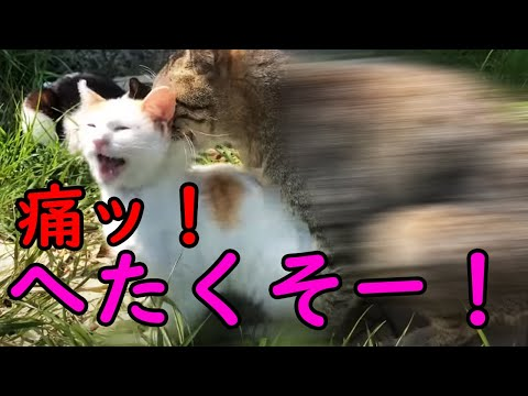 (Male cats flocking to female cat)