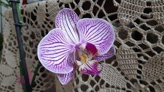 Орхидея фаленопсис Венозник домашнее цветение