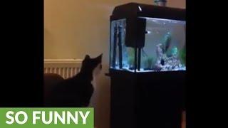 Cat tries to catch fish in aquarium, fails miserably