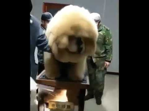 The Fluffiest Dog in the World