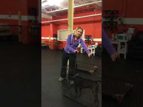 Dog Training | Kennel up drills | Solid K9 Training Dog Training