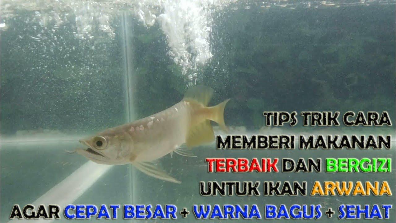 Tips Trik Cara Memberi Makanan Terbaik Bergizi Ikan Arwana Agar