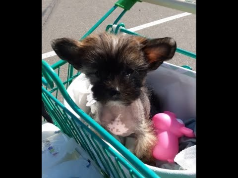 Lola 8 Week Old Hairless Chinese Crested Dog