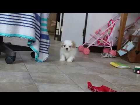 Shichon Puppy For Sale