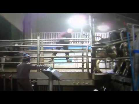 Shocking video  Cows beaten, hanged and whipped at Canadian dairy farm