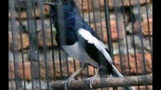 INI DIA Ciri Ciri Burung Kacer Jantan Dan Betina Paling Lengkap