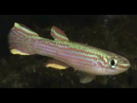Red Striped Killifish Aphyosemion Striatum For Sale At