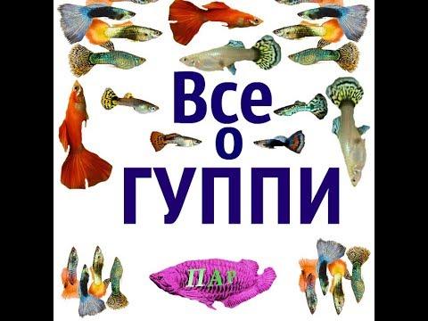 Все о рыбках ГУППИ (Poecilia reticulata).
