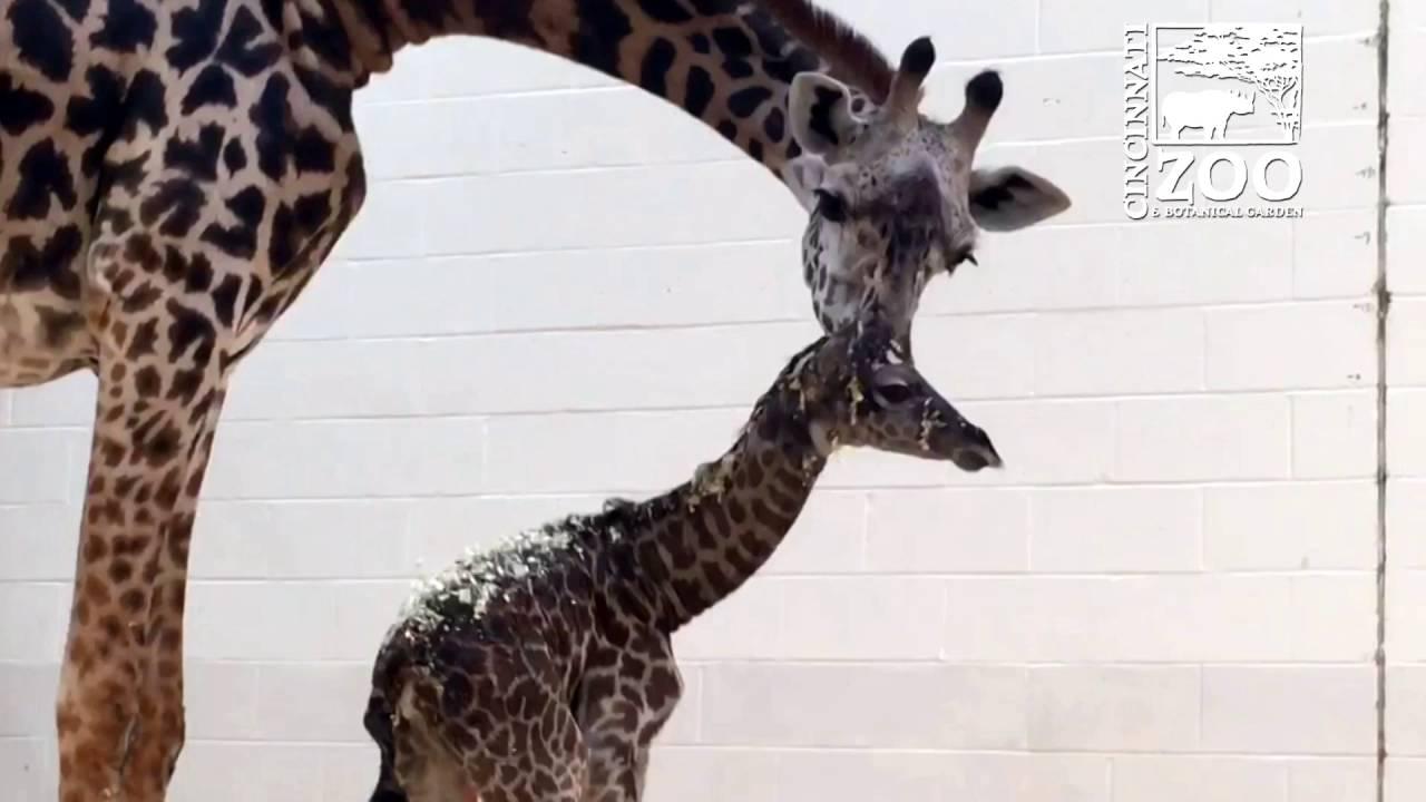 New Baby Giraffe Cincinnati Zoo Youtube