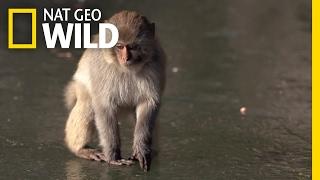 Monkeying Around on Ice | Destination WILD