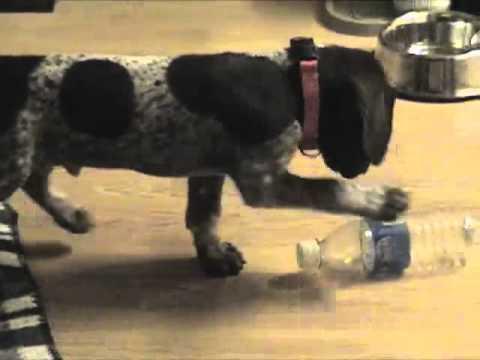 8 Week Old German Shorthaired Pointer Puppy