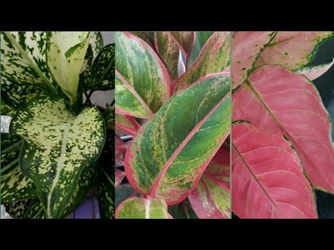 Colourful Aglaonema Plant Ideal For Indoor Youtube