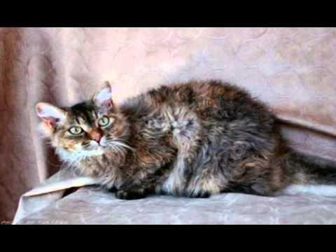 laperm cat breeds