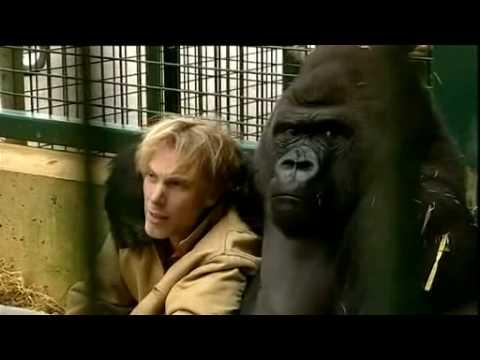 Gorilla Gorilla - Damian Aspinall & Kifu at Howletts Wild Animal Park, Kent