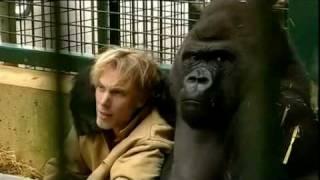 Gorilla Gorilla   Damian Aspinall And Kifu At Howletts Wild Animal Park Kent