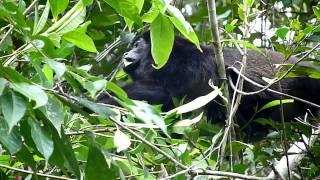 Singe hurleur (howling monkey) - Tortuguero - Costa Rica