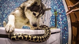Не для слабонервных ! Змеи и хаски / Snakes and husky