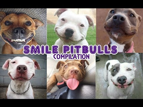 Best PITBULL 🐾 videos - Pitbulls smiling Compilation - YouTube Loyalty life - #petcarol