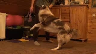 Как разыгрывать собаку