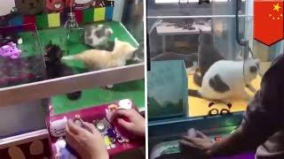 Kucing ditawarkan sebagai hadiah claw machines di Cina - Tomonews