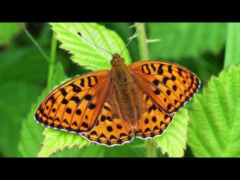Boost for UK's most endangered butterfly