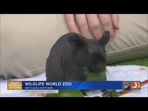 Wildlife World Zoo Welcomes Hairless Guinea