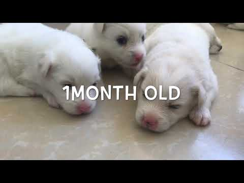 Japanese spitz puppies; First month of life..♥